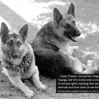 Cesar Chavez companion dogs: Boycott & Huelga 1973