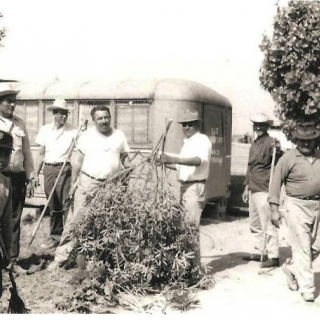 Parlier UFW members clear ground for hiring hall. / Parlier  / August 1967